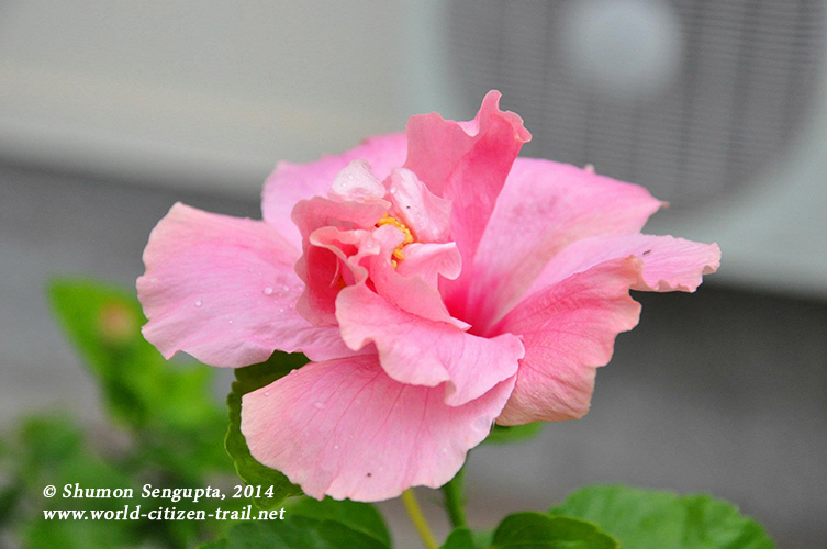 Vientiane International School. Pink flower.