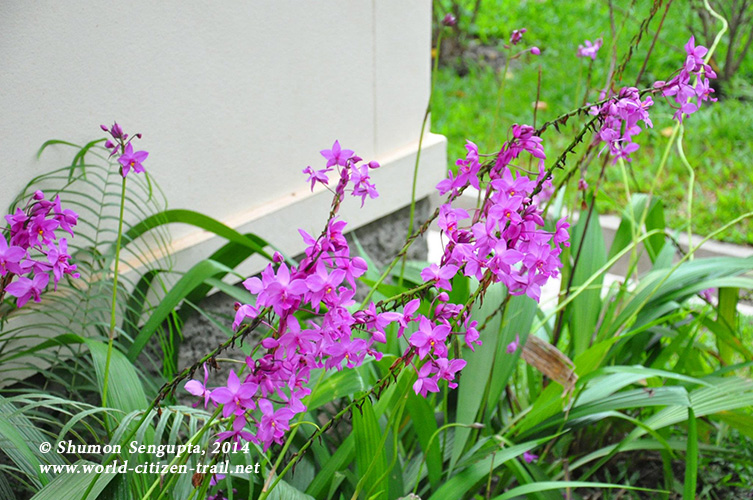 Vientiane International School. violet flowers.