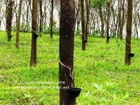 Rubber_trees_in_Kerala,_India
