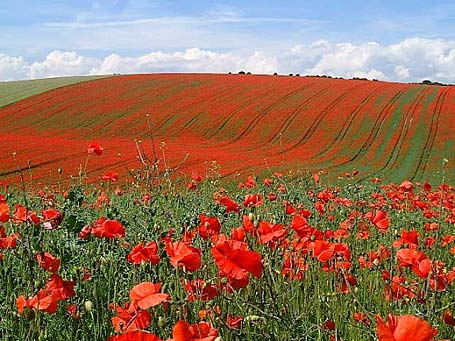 Poppies-in-Belgian-field