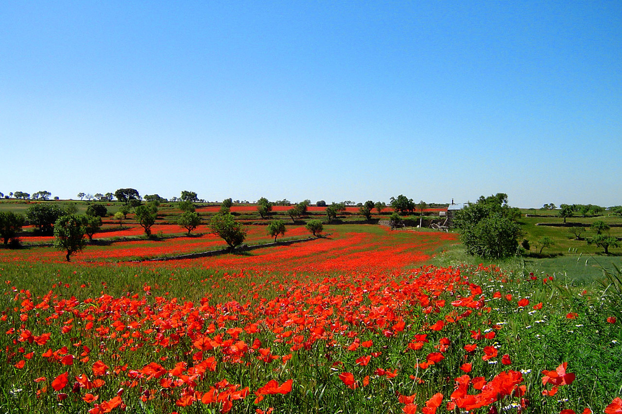 amapolas-28961290013507Xx9 red poppies in field